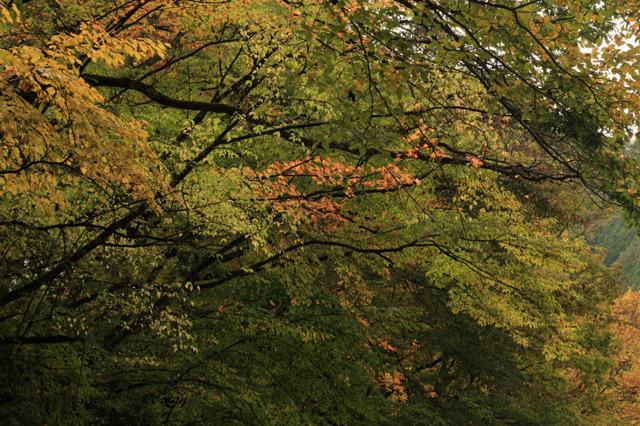 中津川峡20101031の紅葉加減2