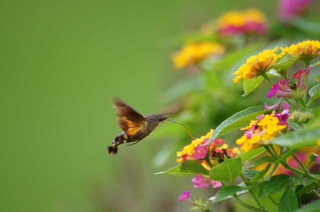 ハチドリの画像 p1_14