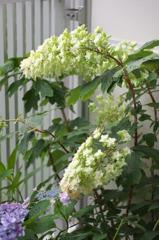 白い紫陽花(6)
