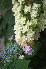 白い紫陽花(7)