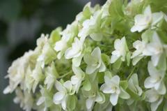 白い紫陽花(2)