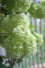 白い紫陽花(1)