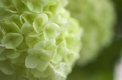 白い紫陽花(3)
