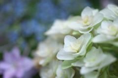 白い紫陽花(4)