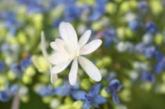 額紫陽花(2)