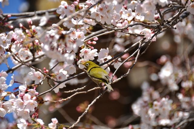鴬と桜-2-