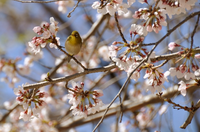 鴬と桜-1-