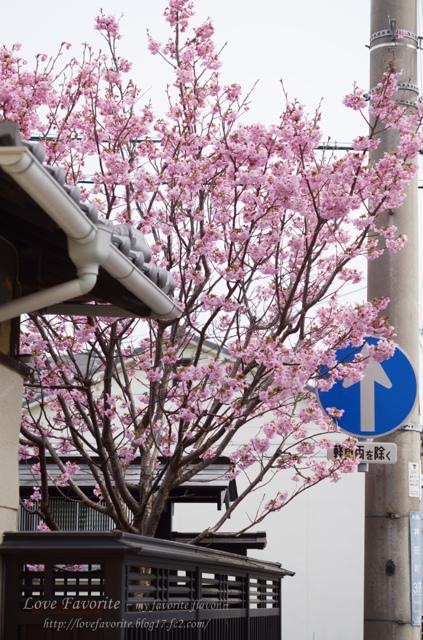 黒板塀に見越しの桜?