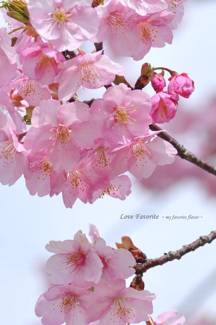 河津桜 001