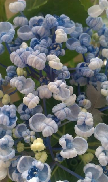 渦紫陽花(お多福)