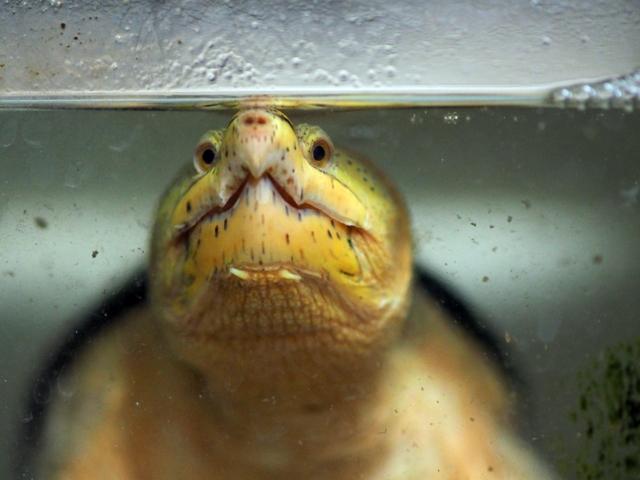 多分立体的にモノを見てる。ハラガケガメ