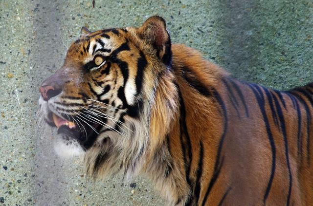 虎の穴。スマトラトラ