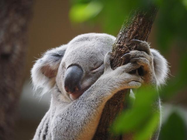 寝まくりコアラ