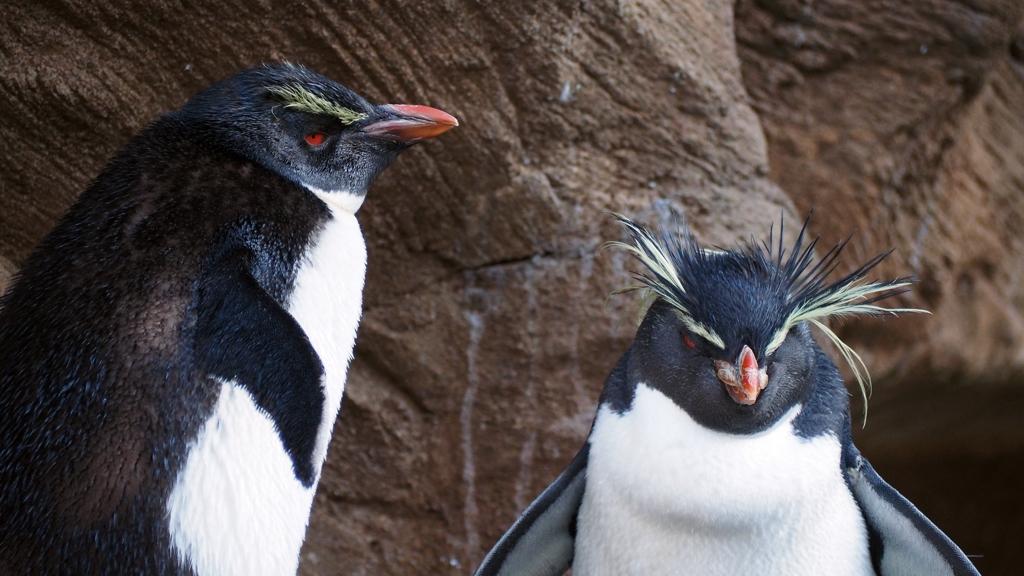 眼光冴えて。。。イワトビペンギン