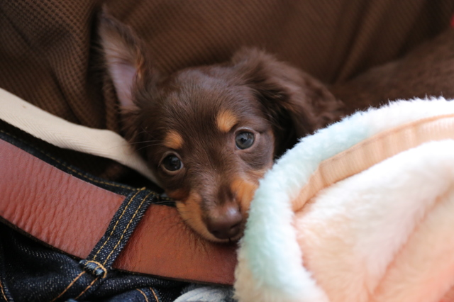 チョコタン子犬。