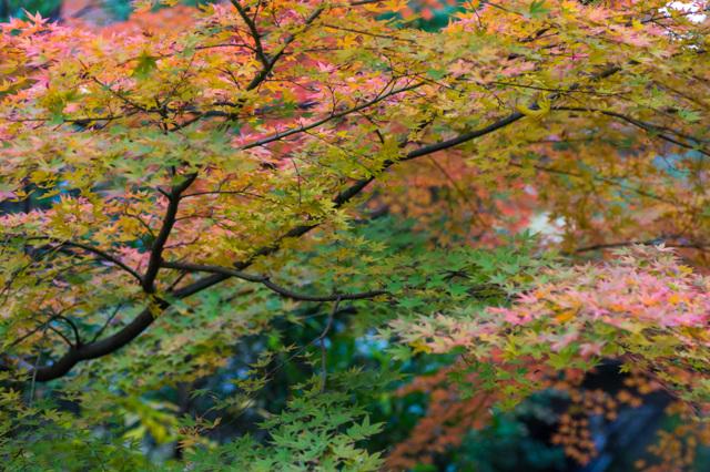 柳原神池の紅葉具合