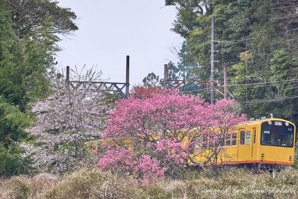 桜・桃・鉄