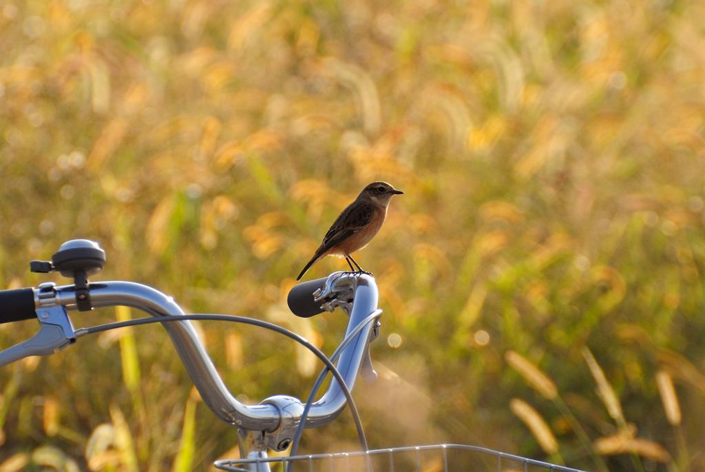 ノビタキと自転車
