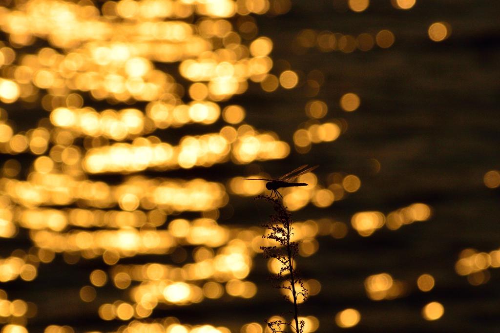 川面の夕陽とコフキトンボ