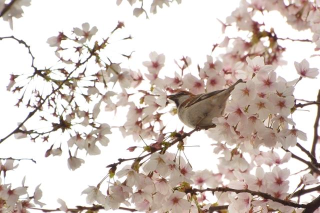 桜のラッパを吹いて