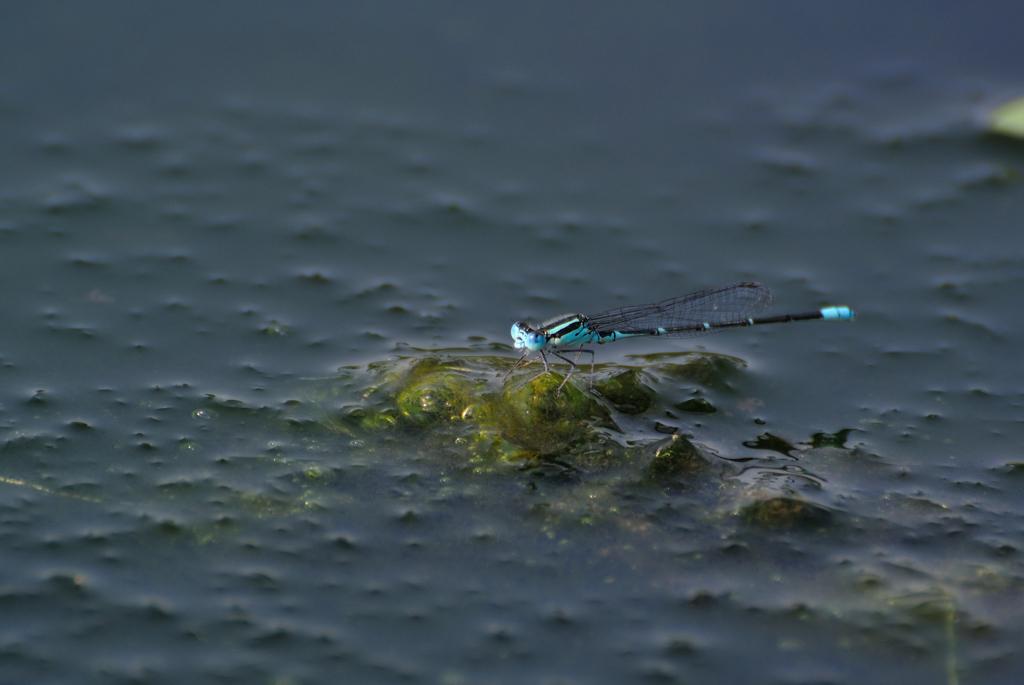 藻の上のムスジイトトンボ