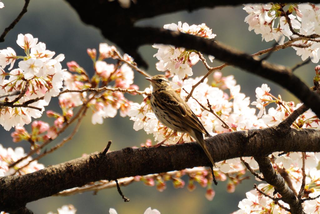 桜とタヒバリ