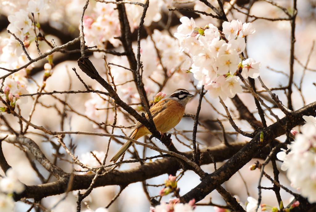 桜とホオジロ♂