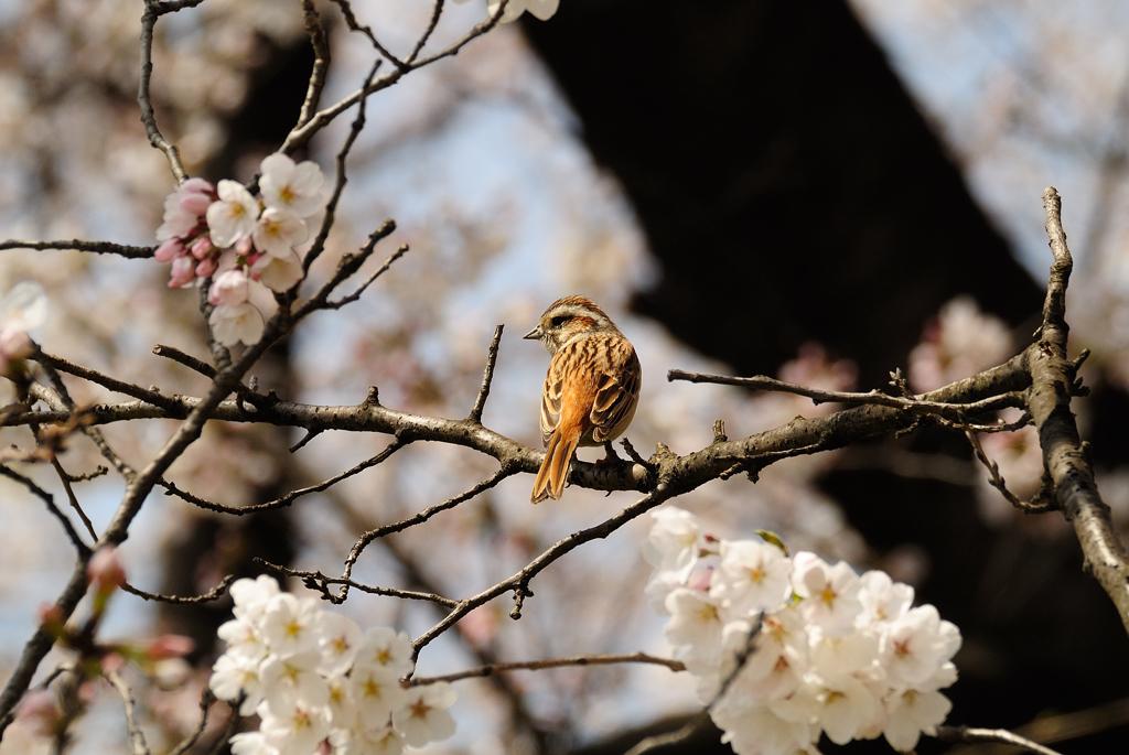 桜とホオジロ♀