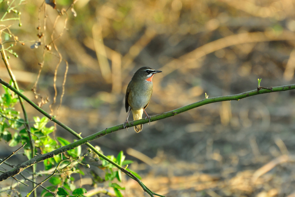Siberian Rubythroat in morning glow.
