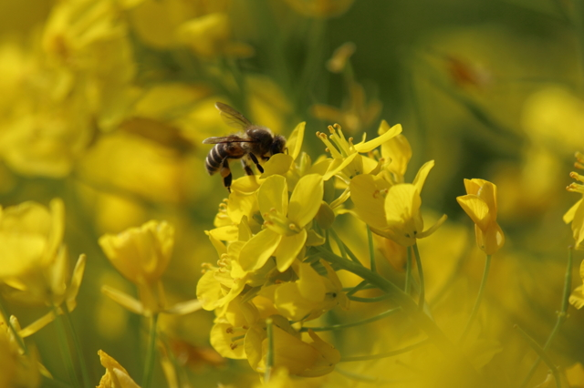 蜂と菜の花 Ⅱ