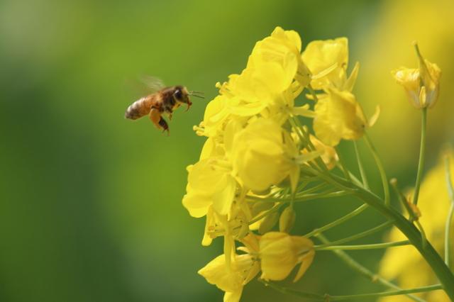 蜂と菜の花 Ⅰ