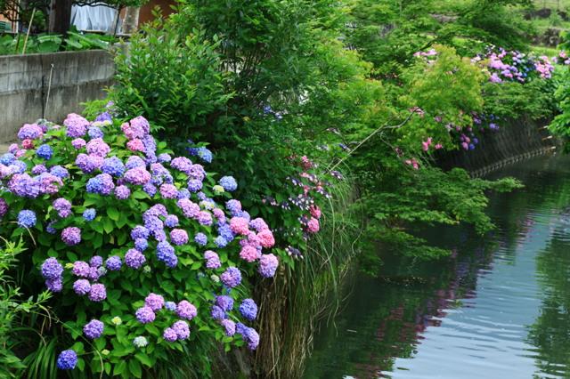 水路に咲く。