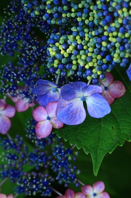 つぶつぶ紫陽花。
