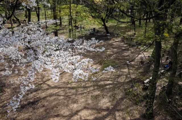 桜の下でくつろぐ