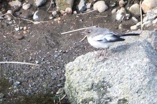 セグロセキレイ幼鳥(3)