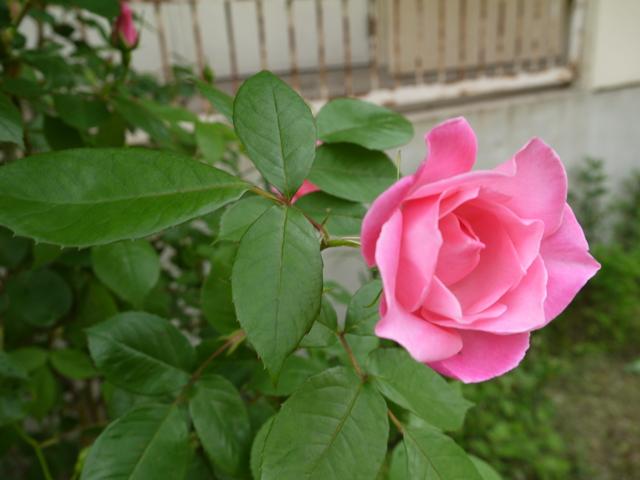 名もない花に憧れる