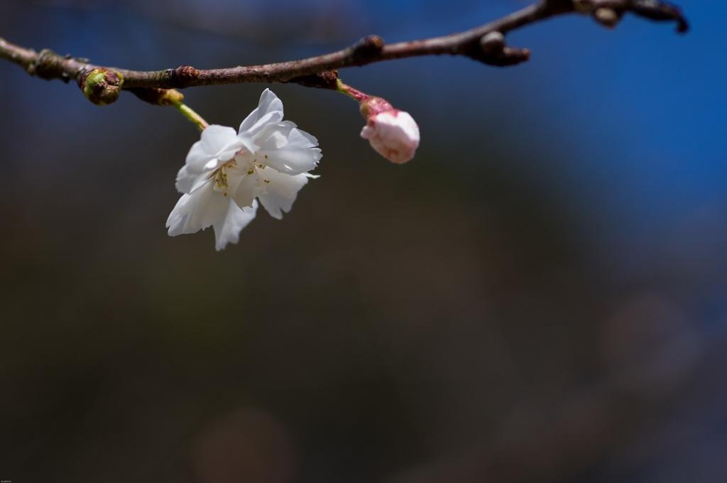コブクザクラ(小福桜)