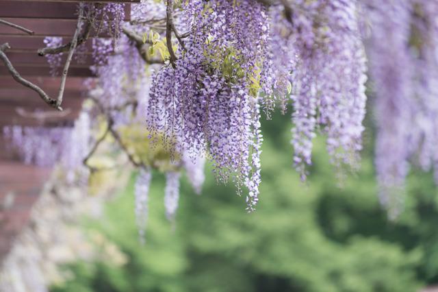 【神代植物公園(藤の花)】③20160424