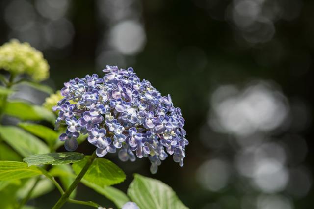 【薬師池公園(渦紫陽花)】②20160612