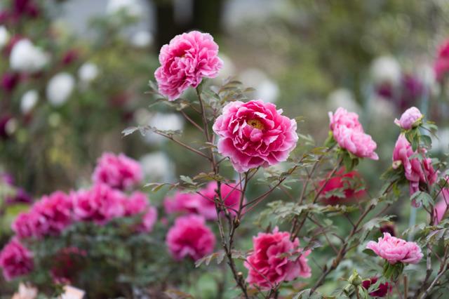 【神代植物公園(牡丹:新七福神)】①20160424