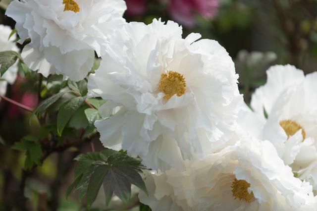 【神代植物公園(牡丹:玉簾)】20160424