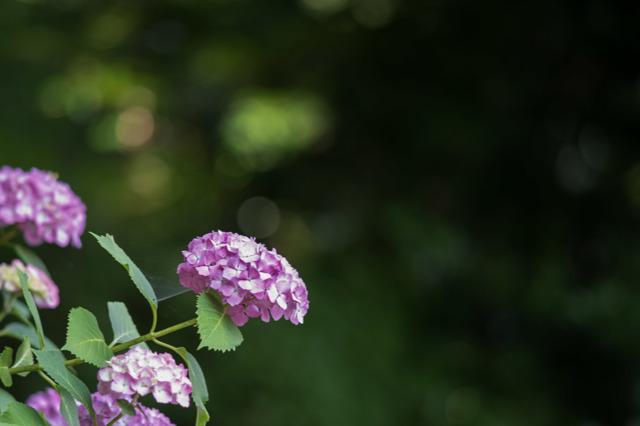 【薬師池公園(赤色の紫陽花)】①20160612