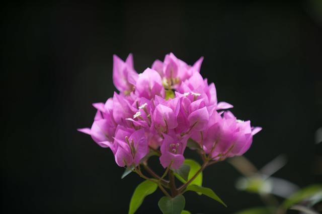 【庭の花(ブーゲンビリア)】②20150823