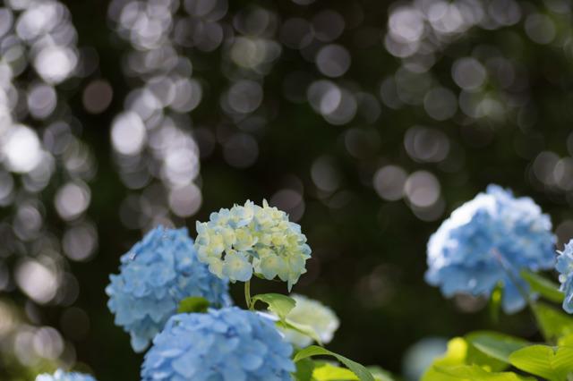【相模原北公園(紫陽花:混合種)】②20160611