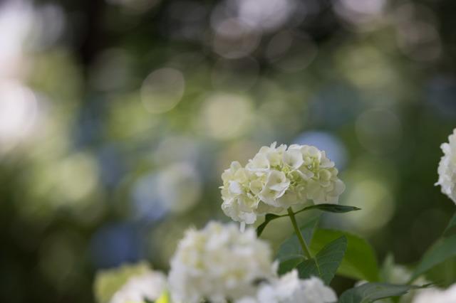 【相模原北公園(紫陽花:インマクラータ)】①20160611