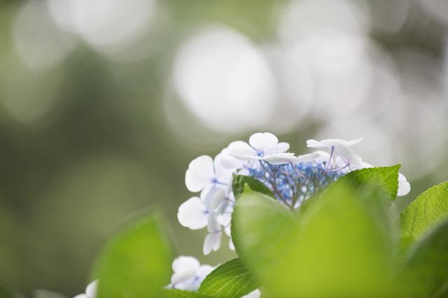 【昭和記念公園(輝いていた紫陽花たち)】①20160702