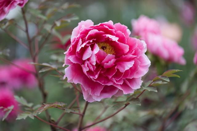 【神代植物公園(牡丹:新七福神)】②20160424