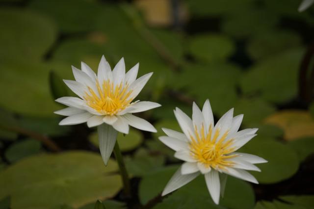 【大船植物園(熱帯睡蓮: ホワイトパール)】20160528