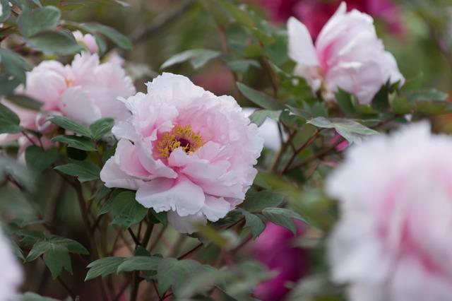 【神代植物公園(牡丹:八重桜)】20160424