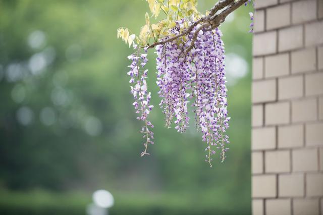 【神代植物公園(藤の花)】④20160424